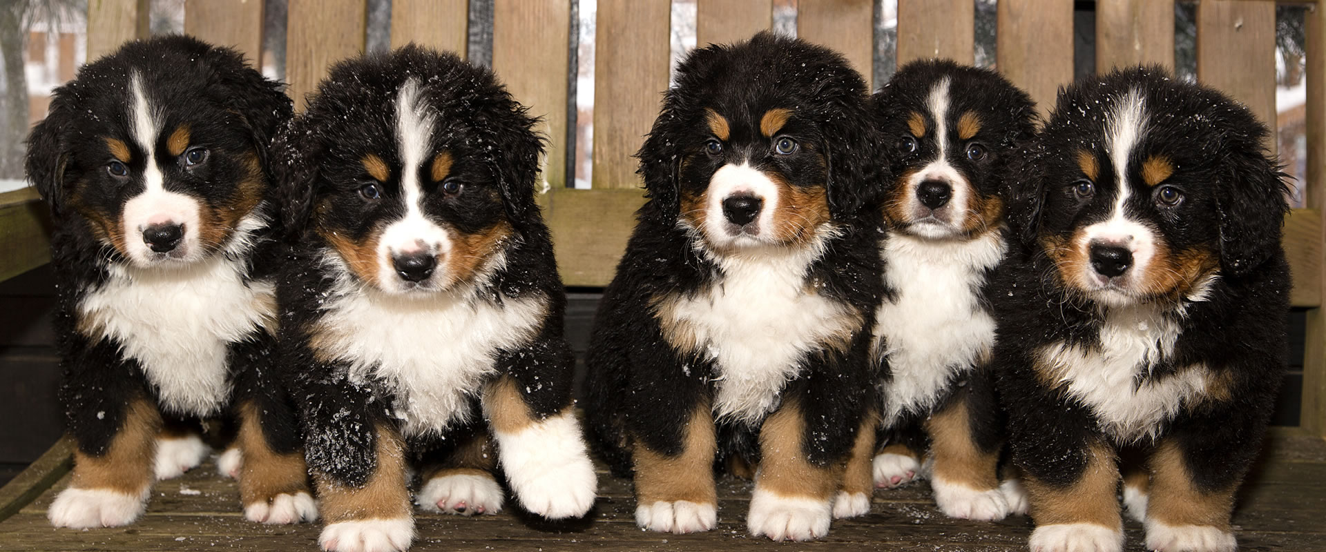 Breed Information Bernese Mountain Dog Club Of Great Britain