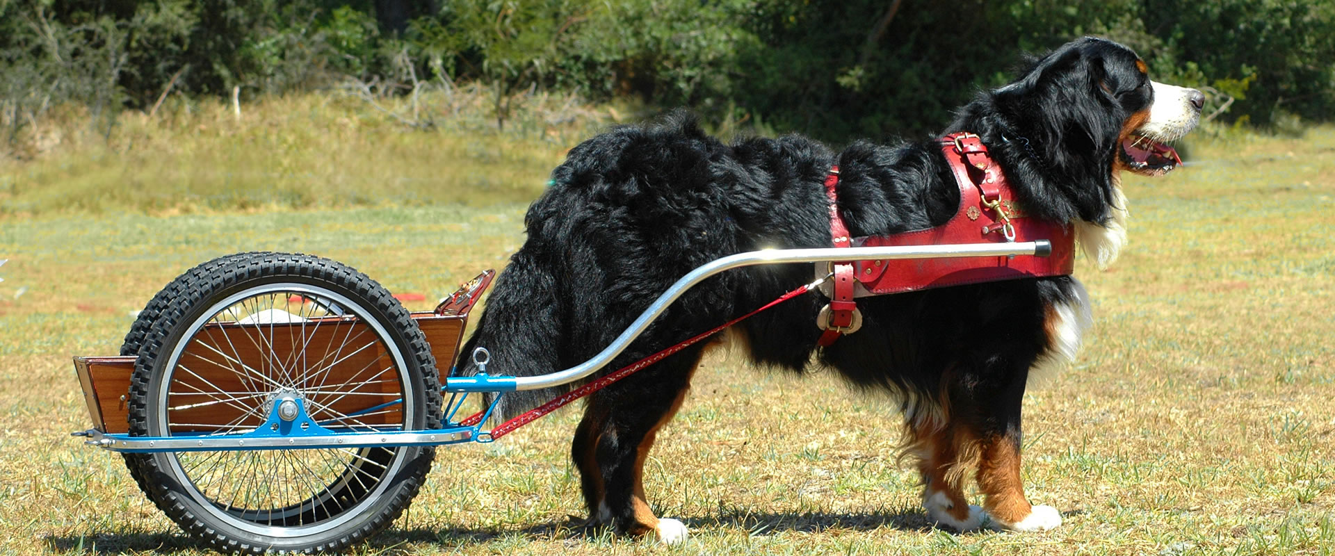 Bernese Mountain Dog Club of Great Britain | Est  1971
